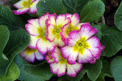 Beautiful flowers. Closeup picture of beautiful flowers Royalty Free Stock Photos