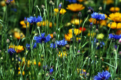 Beautiful flowers. Beautiful and colourful flowers in the garden Royalty Free Stock Images