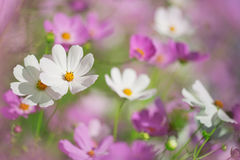 Beautiful flowers cosmos Royalty Free Stock Image
