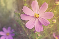 Beautiful flowers cosmos Stock Photography