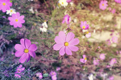 Beautiful flowers cosmos Stock Image