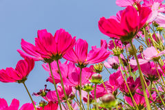Beautiful flowers cosmos on softly blurred background Royalty Free Stock Images