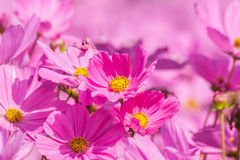 Beautiful flowers cosmos on softly blurred background Royalty Free Stock Image