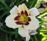 Beautiful flowers cultivated in european gardens. blooming cream day-lily ( lily ) compared to other plants in the garden. Stock Photo