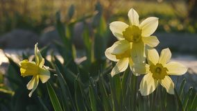 Beautiful flowers daffodils grow in a flowerbed at sunset.  stock footage