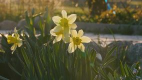 Beautiful flowers daffodils grow in a flowerbed at sunset.  stock video footage