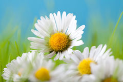 Beautiful flowers - daisy Stock Photos