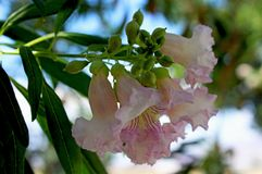 Desert Willow flowers, Coso Junction Rest Area, Freeway 395 royalty free stock image
