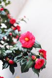 Beautiful camellias blooming in early Spring in Washington, D.C. stock photos