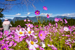 Beautiful flowers Field in Taiwan Royalty Free Stock Images