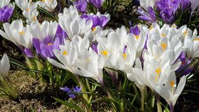 Beautiful  flowers First spring  crocus  in park lilac and white color on green grass  Beautiful Blossom Floral nature  background. Beautiful bud flowers, crocus stock photos