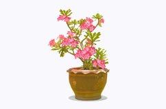 Beautiful flowers. Beautiful frangipani in the pot Royalty Free Stock Photography