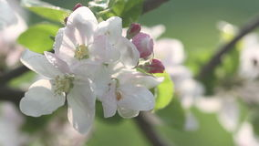 Beautiful flowers of fruit tree blooming at spring. Amazing magic of nature regeneration at spring stock footage