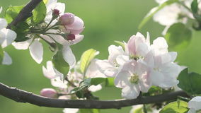 Beautiful flowers of fruit tree blooming at spring. Amazing magic of nature regeneration at spring.  stock video