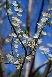 Fruit trees blossoming in spring Royalty Free Stock Photography