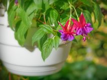 Beautiful flowers of fuchsia in the flowerpot in the park.  royalty free stock image