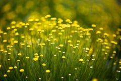 Beautiful flowers full bloom beside Lake Kawaguchi near Mount Fuji Japan.  royalty free stock image