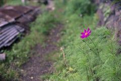 Beautiful flowers full bloom beside Lake Kawaguchi near Mount Fuji Japan.  royalty free stock photo