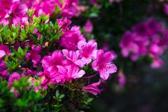 Beautiful flowers full bloom beside Lake Kawaguchi near Mount Fuji Japan.  stock images