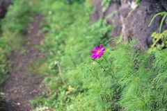 Beautiful flowers full bloom beside Lake Kawaguchi near Mount Fuji Japan.  stock image