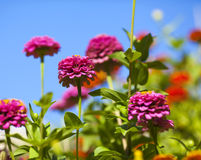 Beautiful Flowers. In the garden Royalty Free Stock Photography