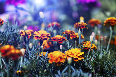 Beautiful Flowers. In the garden Royalty Free Stock Photo