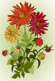 Beautiful flowers of Garden asters Stock Photo