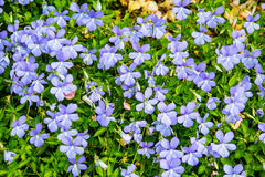 Beautiful flowers, violets in the garden Stock Photography