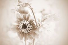 Beautiful flowers. In the garden. Sep Royalty Free Stock Photography