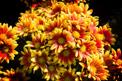 Beautiful flowers in  garden Royalty Free Stock Photos
