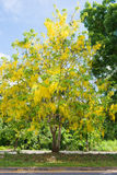 Beautiful flowers of golden shower tree Royalty Free Stock Images