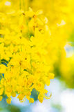 Beautiful flowers of golden shower tree Royalty Free Stock Image