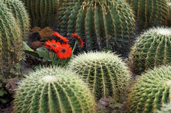 Beautiful flowers among green cactus Royalty Free Stock Images