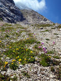 Beautiful flowers growing in the high mountains in extreme clima. Tic conditions, the Brenta Dolomites in Italy Royalty Free Stock Photography