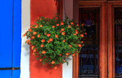 Beautiful flowers hanging on the wall. Colorful houses in Burano Stock Images
