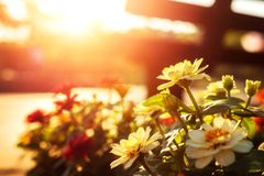 Beautiful flowers have pink color, red color, orange color and little bokeh between sunset. stock photos
