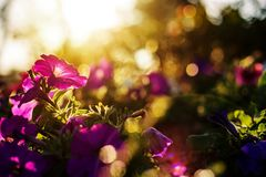 A beautiful flowers have pink color, red color, orange color and little bokeh between sunset. stock photos