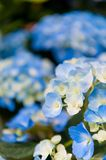 Beautiful Flowers Hydrangea macrophylla or Hortensia flower is blooming