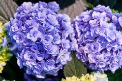 Beautiful Flowers Hydrangea macrophylla or Hortensia flower is blooming stock images