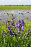 Beautiful flowers of iris besides river Stock Photography