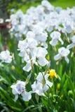 Beautiful flowers iris Royalty Free Stock Photo