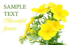 Beautiful flowers  isolated over white Royalty Free Stock Image
