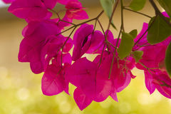 Beautiful flowers of Israel Stock Images