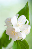 Beautiful flowers of a jasmin, close up. Royalty Free Stock Images