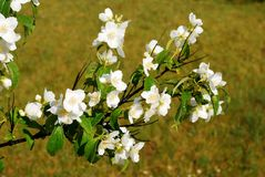 Beautiful flowers of a jasmine on the grass Stock Images
