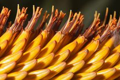 Beautiful flowers Kniphofia macro outdoors. Royalty Free Stock Image