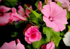 Beautiful flowers lavatera Stock Photography