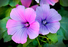 Beautiful flowers lavatera, floral background Royalty Free Stock Images