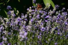 Attractive and inviting scent of lavender flowers. stock photography