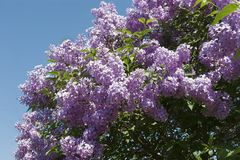 Beautiful flowers of lilac. Beautiful lilac flowers close-up, blue sky Stock Photography